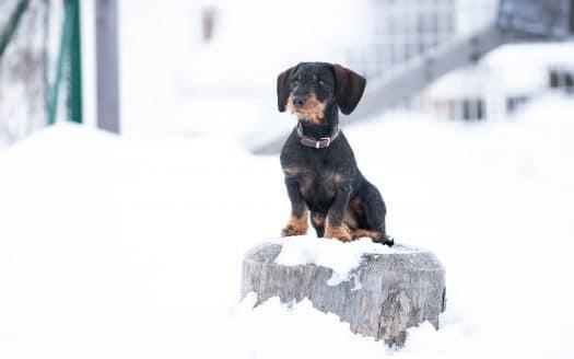Dackel sitzt auf Stein im Schnee, Hotel Riederhof, Winterurlaub mit Hund
