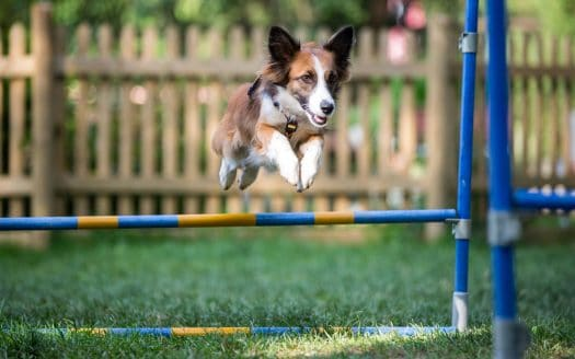 Hund springt am Agilityparcours über eine Hürde, Hotel Almfrieden Sommer 2020, Urlaub mit Hund in Österreich