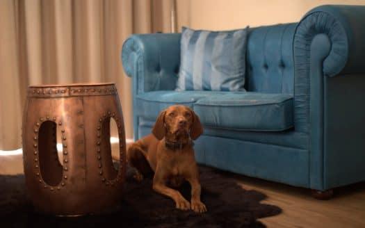 Hund vor dem Sofa, Amedia Luxury Suites Graz, Urlaub mit Hund in Österreich