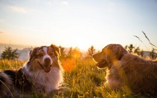 Zwei Hunde im Sonnenuntergang, Go Slow im Ortners Eschenhof