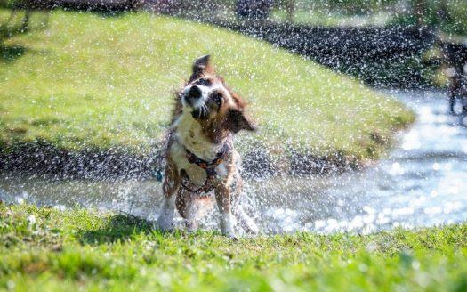 Hundstage im Sommer, Hotel Almfrieden. Ein nasser Hund schüttelt sich nach einem Bad im Bach.